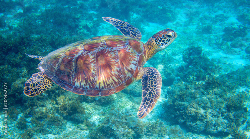Keuken foto achterwand Schildpad Sea turtle in tropical lagoon. Green sea turtle closeup. Wildlife of tropical coral reef.