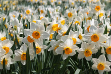 Large Group Of Blooming White ...