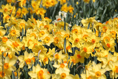 Cadres-photo bureau Narcisse Large group of blooming yellow daffodils, lit by bright spring sun on flower bed