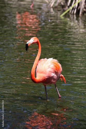 Foto op Aluminium Flamingo Flamingo in water