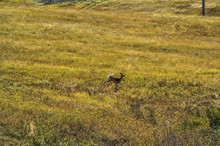 White-tailed Doe Running Across A Field 032