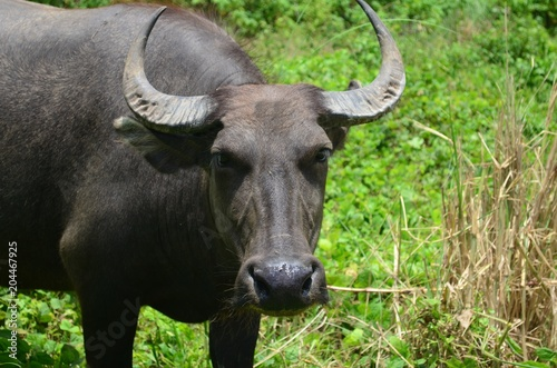 Keuken foto achterwand Buffel Carabao, water buffalo in the Philippines.