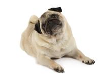 Purebred Pug Dog Lying In A Studio