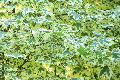 Photo Acer platanoides Drummondii, foliage