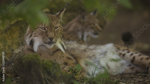 Staande foto Lynx Portrait of Eurasian lynx pair having rest on forest ground in nature habitat, green leaves in foreground / background. Close up wildlife creative blurred bokeh scene at hot summer time. Warm season.