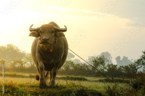 Foto op Plexiglas Buffel Buffalo in the farm with lighting in morning time.