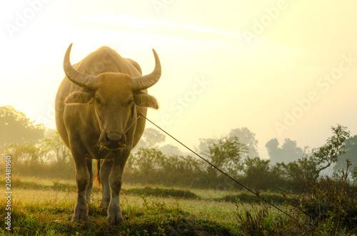 Staande foto Buffel Buffalo in the farm with lighting in morning time.