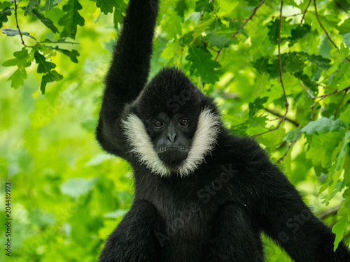 Fotografía Gibbon à favoris blancs