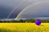 Fototapeta Rainbow - Lonely umbrella and rainbow above the field with blossoming rapeseed, just before thunderstorm, concept of ecological tourism that is targeted at human health maintenance