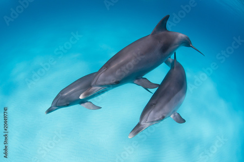 Photographie Bottlenose dolphins playing around in a logoon in clear blue water