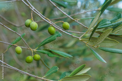 Wall Murals Closeup olives tree in nature, fresh and green