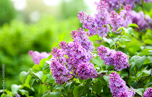 Photo sur Aluminium Lilac Lilac flowers blossom
