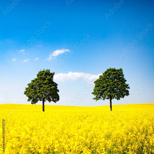 Deurstickers Geel Himmel, Raps und Bäume