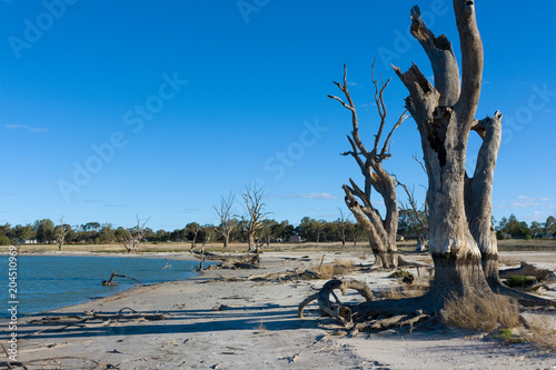 Fotografia  The dead red gum trees in the drought affected lake bonney in barmera south aust