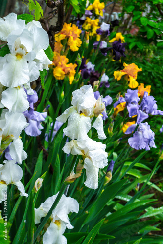 Foto op Canvas Iris Flowers irises
