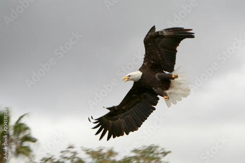 Haliaetus leucochephalus - Aquila di mare americana
