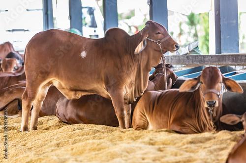Brazilian Zebu elite cattle in a exhibition park Tableau sur Toile