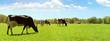 Leinwanddruck Bild Kühe auf der Weide
