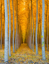 Tree Tunnel - Rows Of Poplar Trees Golden Yellow Autumn Colors