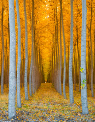 Panel Szklany Skandynawski Tree Tunnel - Rows of Poplar Trees Golden Yellow Autumn Colors