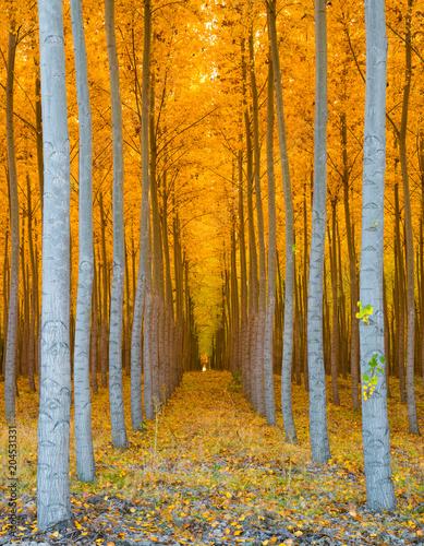 Photo Tree Tunnel - Rows of Poplar Trees Golden Yellow Autumn Colors
