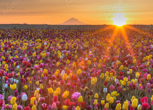 Sunrise over Mt. Hood and Tulips
