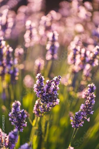 Fotobehang Lavendel Fleur de Lavande, Valensole, France