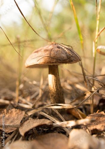 Papiers peints Pays d Afrique Edible fungus grows in the woods