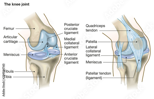 Tela The knee joint, anatomy, medical illustration with caption