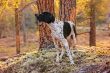 Dog English Pointer Watching Warm Spring Sunset