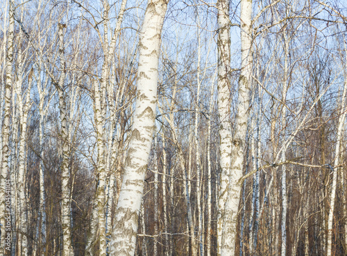 White slim birch trees in the forest