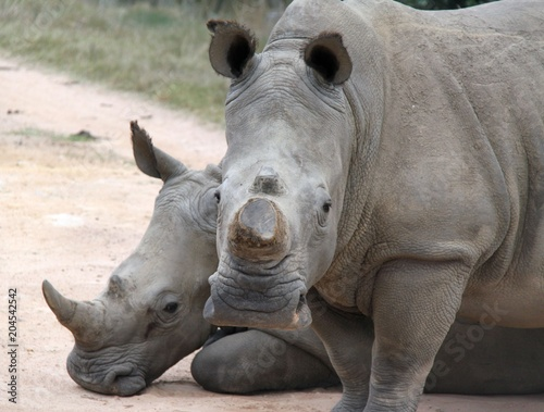 Tuinposter Neushoorn White Rhino in the Cape, South Africa