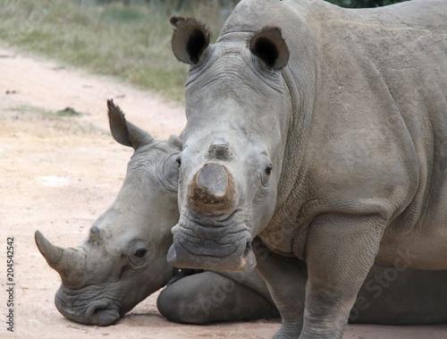 Deurstickers Neushoorn White Rhino in the Cape, South Africa