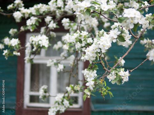 Apple blossoms in the garden of the countryside