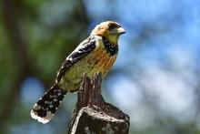 Crested Barbet Bird In Kruger National Park In South Africa