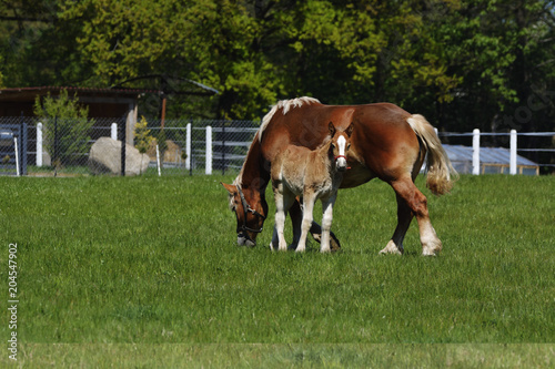 Fotografie, Obraz  Mare with foal