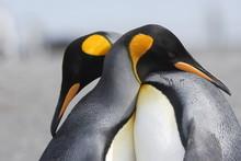King Penguins In Love
