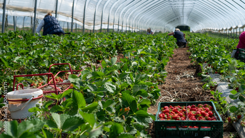 Fototapety, obrazy: Field with strawberry harvest, farmer picking strawberries, organic farming concept