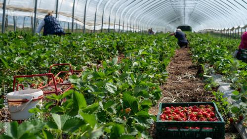 Obraz Field with strawberry harvest, farmer picking strawberries, organic farming concept - fototapety do salonu