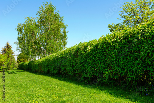 Fotografía Home garden landscape - a green lawn and a big hedge on a blue sky background