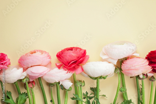 In de dag Bloemen Pink and white ranunculus flowers on yellow background. Flat lay in pastel colors