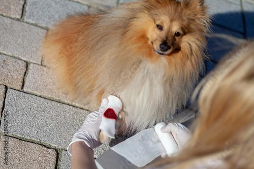 Fotografie, Obraz  A human puts a bandage on a bleeding paw from a shetland sheepdog