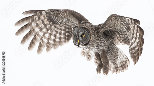 Spoed Fotobehang Uil Great Grey Owl