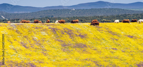 Spring picnic of fresh white daisies, lavender, multifloral natural panoramic landscape with cows grazing