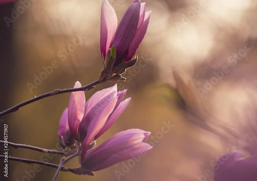 Plakat Kwitnąć różowa magnolia kwitnie w wiosna czasie, kwiecisty naturalny tło