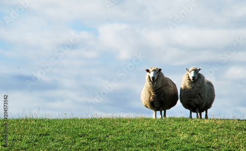 Cadres-photo bureau Sheep Pastoral scenery withtwi sheeps along river bank, in Germany, near baltic Sea