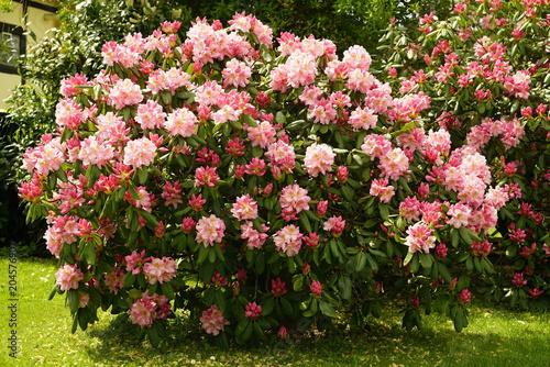 Poster de jardin Dahlia Rhododendron
