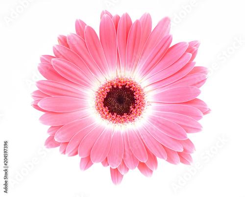 Foto op Aluminium Gerbera Transvaal daisy