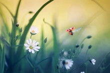 Natural Background With Little Ladybug Flying Wide Straightening Wings Over Blooming Spring Meadow On Sunny Bright Day