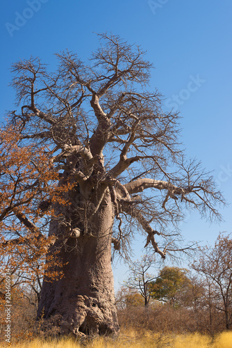 Foto op Canvas Baobab Baobab plant and moon in the african savannah with clear blue sky. Botswana, one of the most attractive travel destination in Africa.